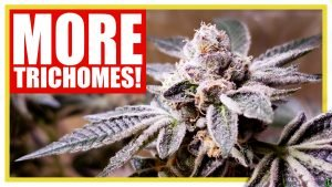 How to Increase Trichome Production